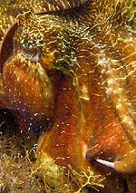 Australian Cuttlefish